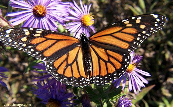Monarch Butterfly & Purple (Asclepias) flowers